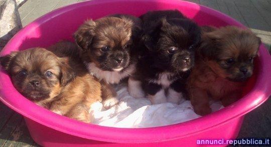 spaniel tibetano cuccioli Cane Tibetan Spaniel Trecenta