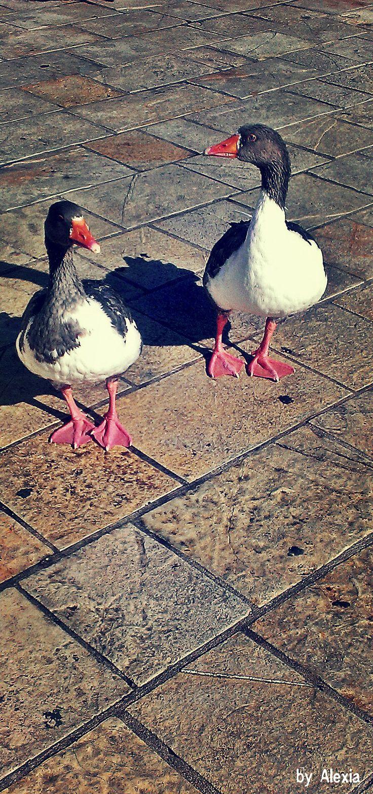 https://flic.kr/p/rarLwL | Duck posing | Ladies posing for the camera,Paxoi Greece