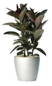 Pollution Control with Ficus Plant