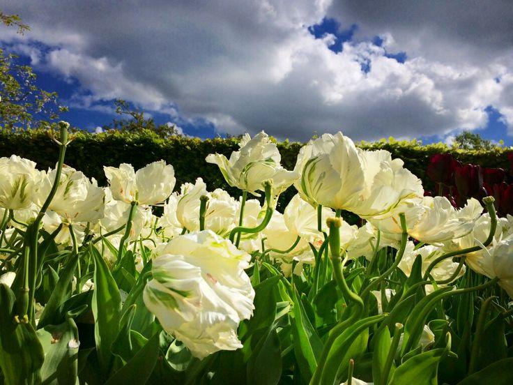 Beautiful tulips!! :)