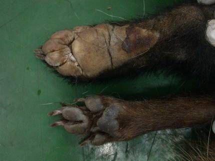 5개의 발가락을 가진 오소리의 뒷발(위)과 4개의 발가락을 가진 너구리의 뒷발(아래). 오소리와 너구리는 발가락의 수와 발 볼의 색으로 구분할 수 있다. 국립생태원 제공