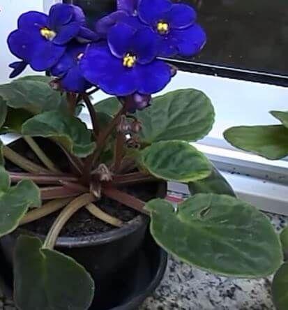 Cuidado de las violetas