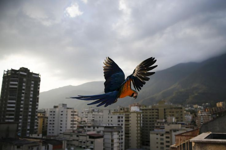 A macaw flies over buildings with the Avila mountain seen in the background in Caracas, Venezuela March 31, 2015. Caracas, the world's second most violent city according to the United Nations, also suffers terrible traffic and residents spend hours in massive lines for scarce products. However, on antennae, roofs and windowsills, blue-and-yellow macaws (or Ara ararauna) break the harsh routine. Though originally native to...