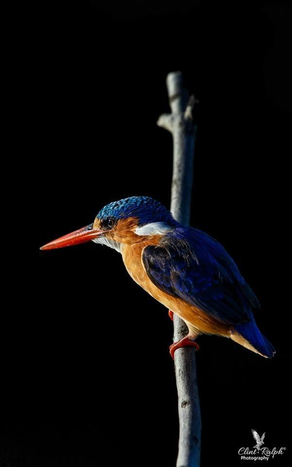Midnight Malachite (Malachite Kingfisher), Loskop Dam, South Africa