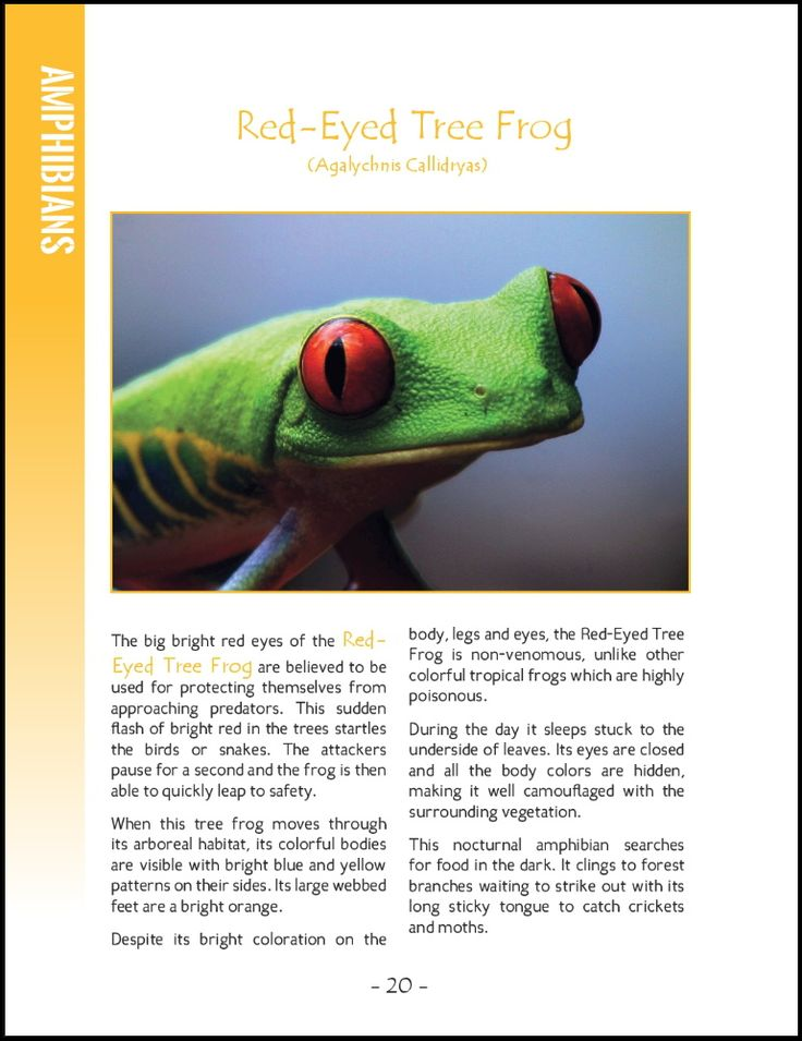 Wildlife in Central America; 25 Amazing Animals Living in Tropical Rainforest and River Habitats. Part of Wildlife Around the World Series.   Photographs and Text by Cyril Brass.   Sample - Page 20 Red-Eyed Tree Frog