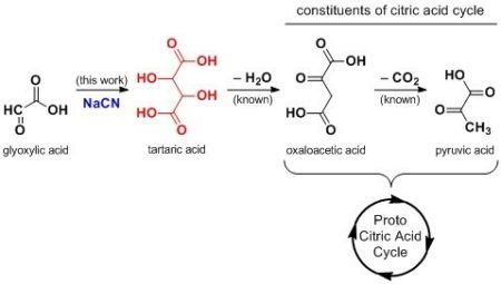Diagram of structures: glyoxylic acid, tartaric acid, oxaloacetic acid, and pyruvic acid.