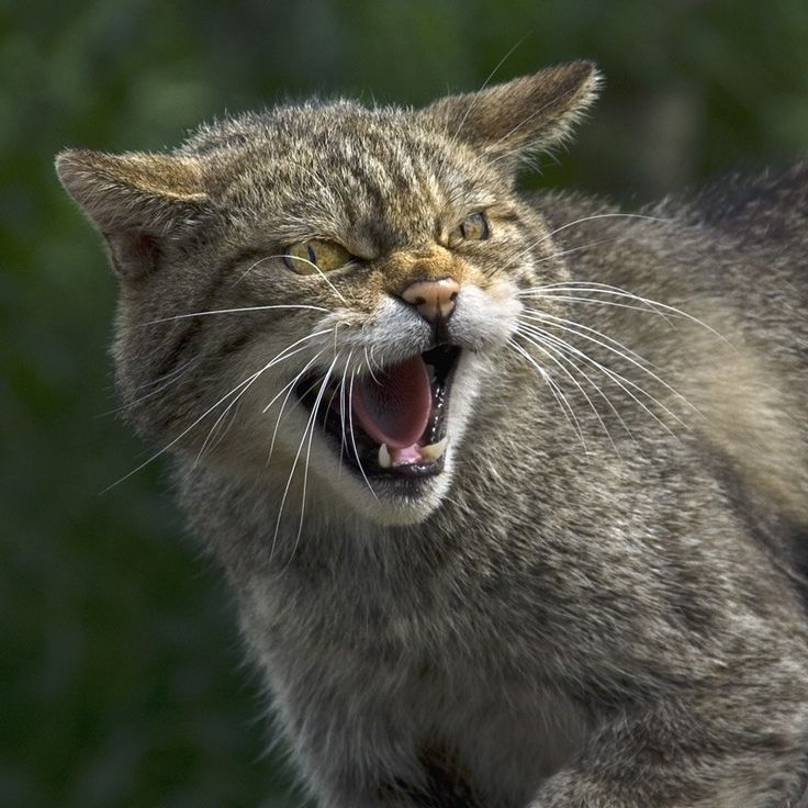 Geography: In Lebanon, the wild cat represents the cat family. Larger than a normal cat, these dangerous animals use their light brown pelt to hunt large birds such as crows. Wild cats breed once a year and can also be found in some parts Europe.