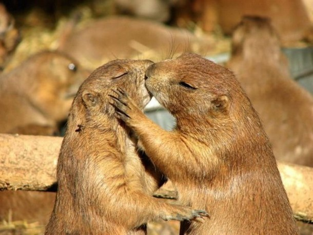 Cute animal kisses!: Sweet Animal, Kiss Me, A Kiss, Prairie Dogs, Judy Garlands, Funny Pictures, The Bride, Funny Animal, Sugar Baby