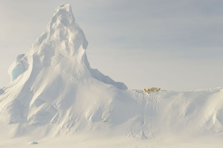 Picture of polar bears in Baffin Island