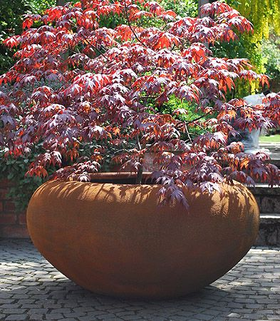 Feature planting.  Single Large decorative shrub in large container in entrance courtyard (south elevation)
