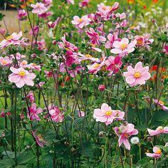 Pestrá záhrada aj na jeseň - Veternica (Anemone hupehensis) Krásne kvitnúca dlhoveká trvalka  Kvitne: ružovými alebo bielymi kvetmi koncom leta a začiatkom jesene  Výška rastu: 1,5 m Potrebuje: polotieň, humóznu a mierne vlhkú pôdu, dostatok miesta Vysádzame: s koreňovým balom aj v kvitnúcom stave koncom leta a na jeseň Rozmnožujeme: delením starších trsov