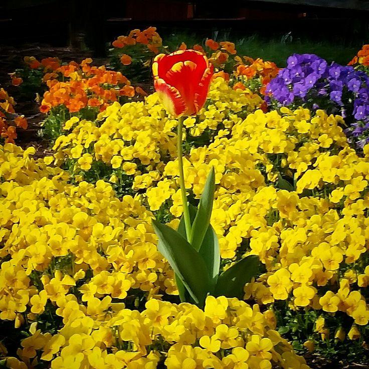 Beautiful tulip.