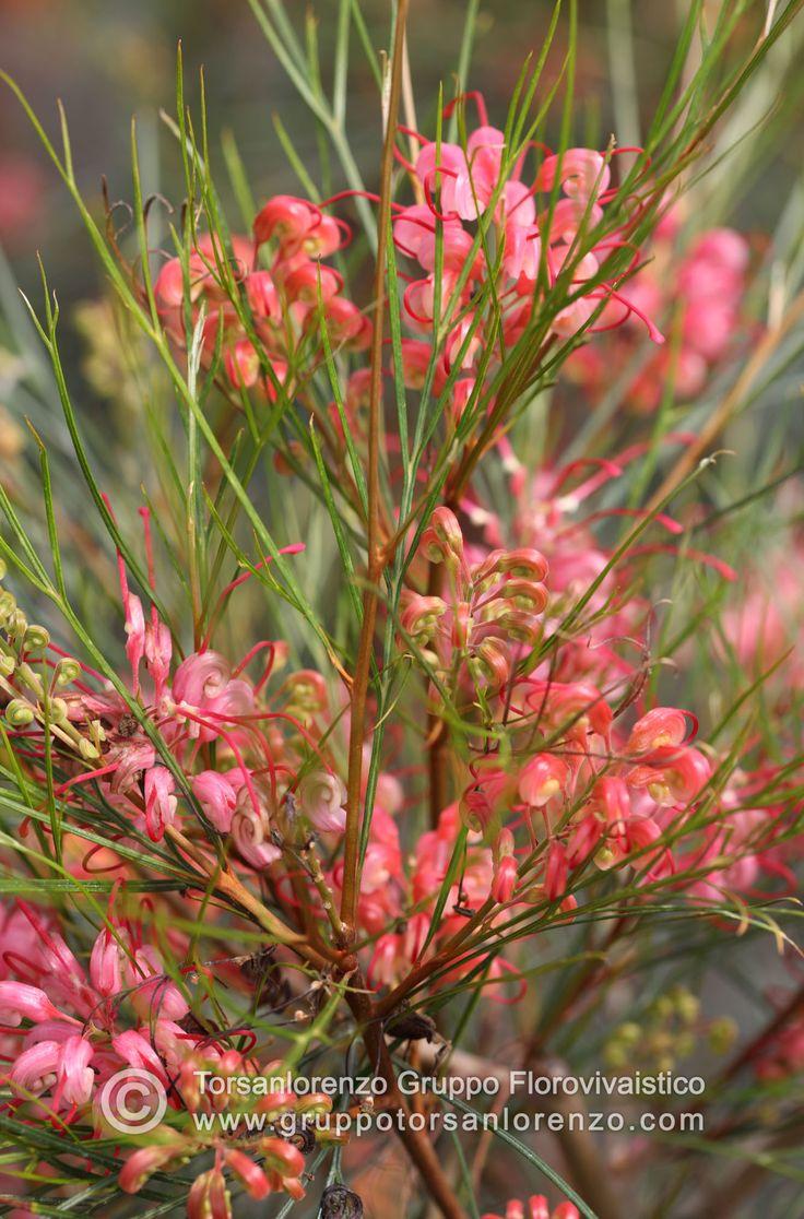 #rose #grevilea #flower #plants #garden #love