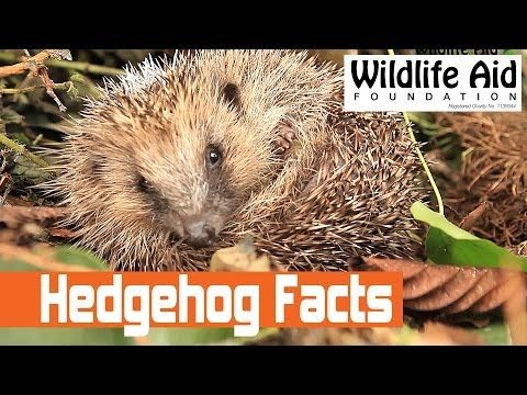 The Nature´s Amazing! Series Hedgehog Facts For Kids - YouTube
