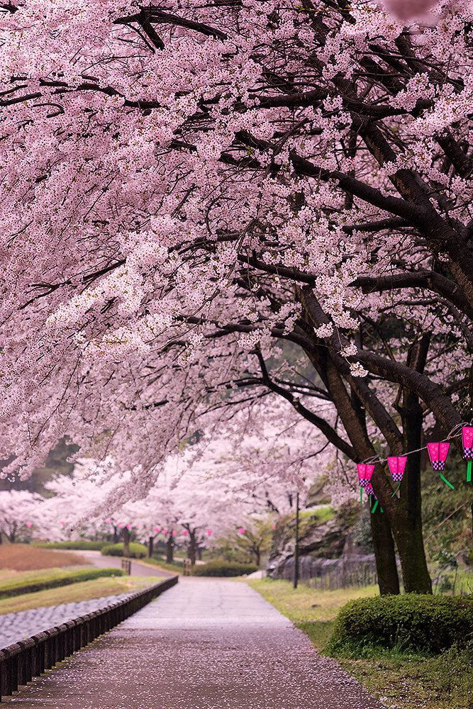 Cerezo de flor