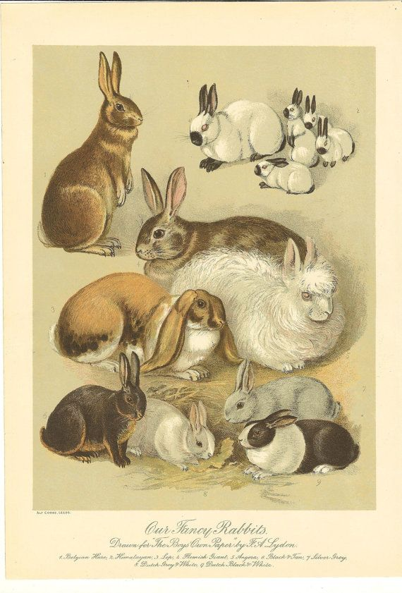 Antique Fancy Rabbit Print  1892 Breeds of Rabbits. Ideal For Framing.