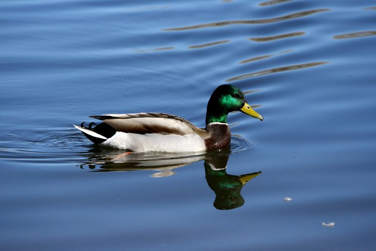 Duck Wallpapers, Images, Photos, Pictures & Pics #duck #wallpapers
