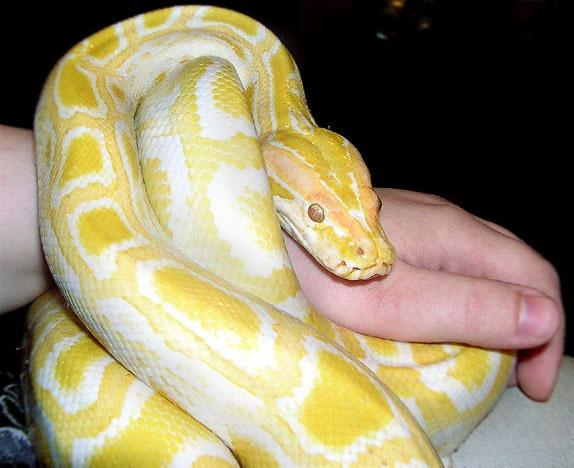 Cheap Kitchen Utensils Large Sinks Albino Burmese Python | Must Haves!!! Pinterest ...