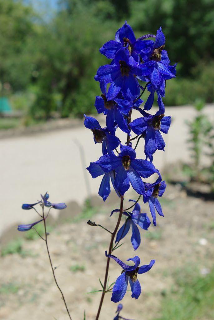 Flore en Valois: Pied-d'alouette élevé, Delphinium elatum