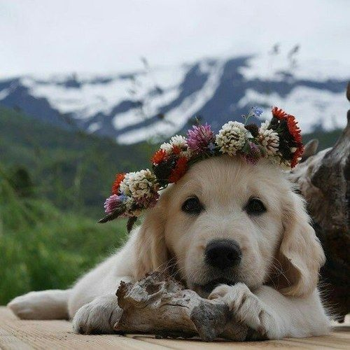 Golden retriever with a flower hat in the mountains. Beautiful