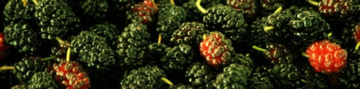 The Makings of Mulberry Wine