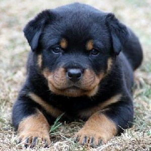 Rotti pup :) Rottweilers are so beautiful and can have the best temperaments, not to mention be extremely smart. Our Rotties Nahla & Keala were amazing! Our current dog, Bear, is a Rottweiler/Lab mix and he is the best behaved/smartest dog I have ever seen.