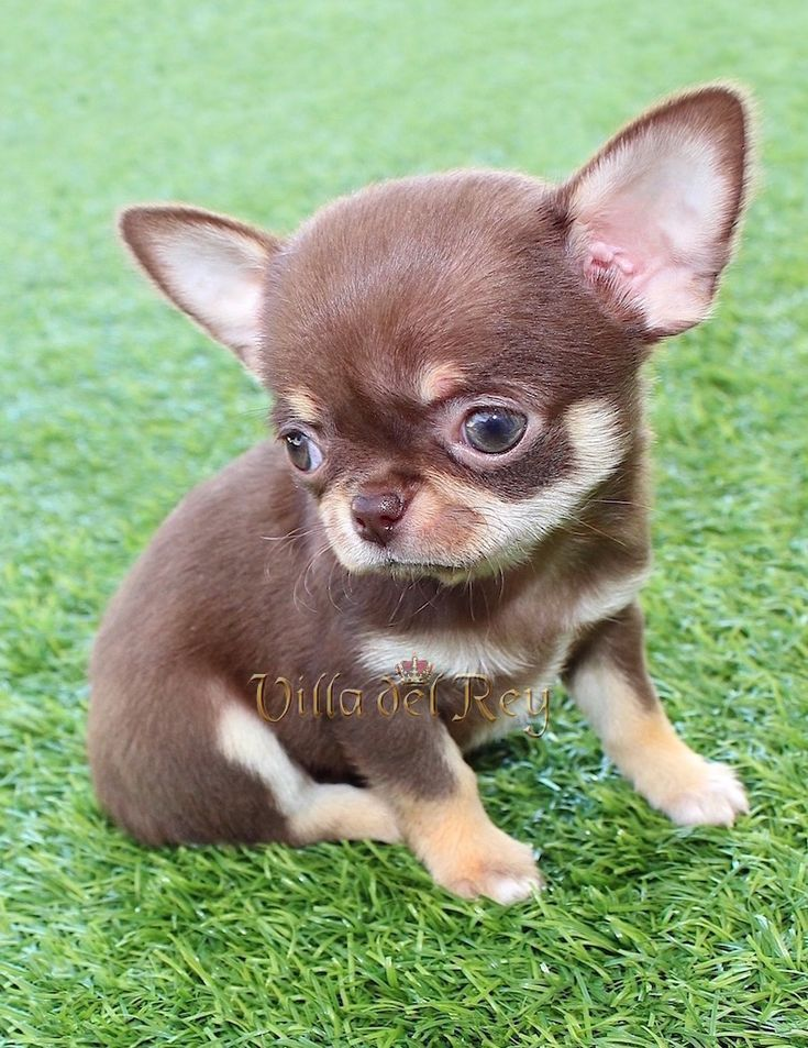 Chihuahuas chocolate pugs in 2020 chihuahua puppies