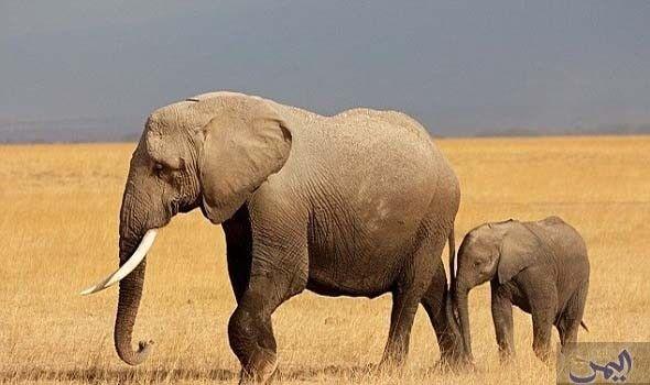 العلماء يؤك دون أن الأرض تتعر ض إلى الانقراض الجماعي السادس United Arab Emirates Animals Elephant