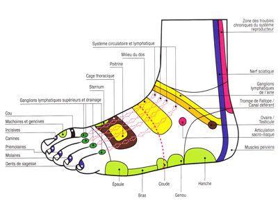 Réflexologie plantaire carte des pieds pdf