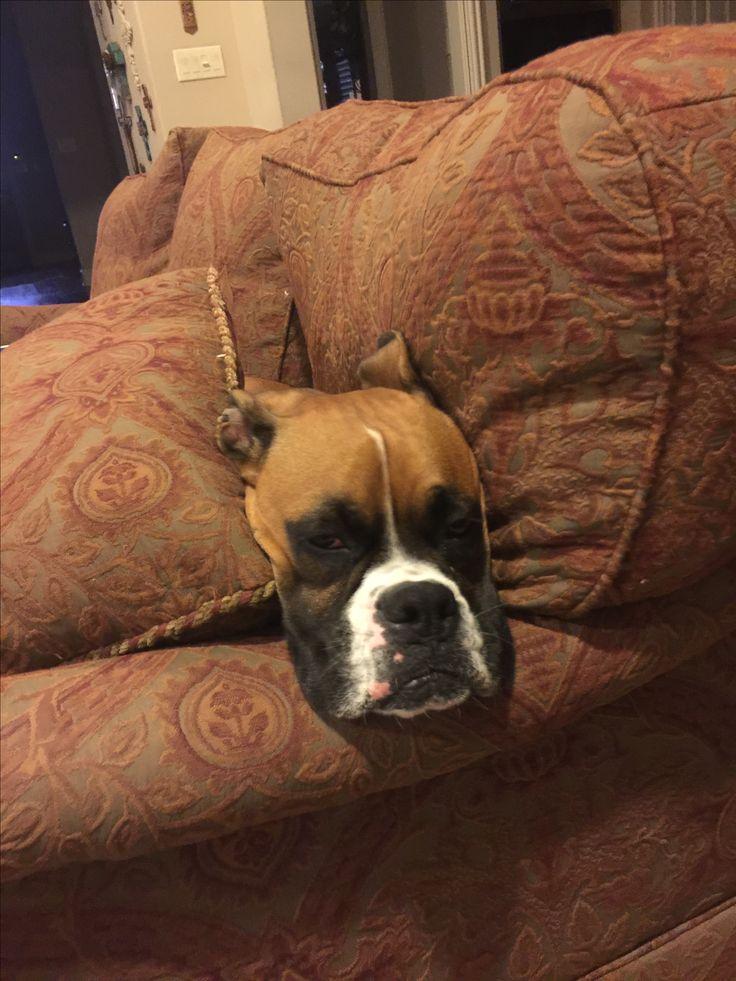 Boxer vs couch....boxer wins!