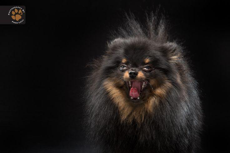 """Fred Levy registra cães de pelagem preta e cria o """"Black dogs project"""" Projeto visa diminuir o preconceito com animais de pelagem pretaFred-Levy-fotografia-cachorros-pelagem-preta-05"""
