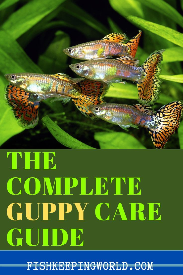 The Complete Guppy Care Guide Year Breeding Tank Requirements Fancy Varieties Fishkeeping Wo In 2020 Guppy Guppy Fish Pet Fish