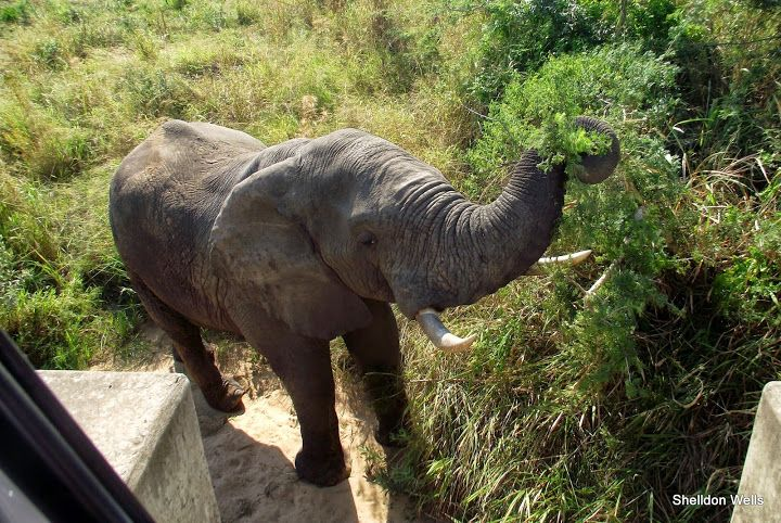 elephant browsing in the riverbed below the bridge.