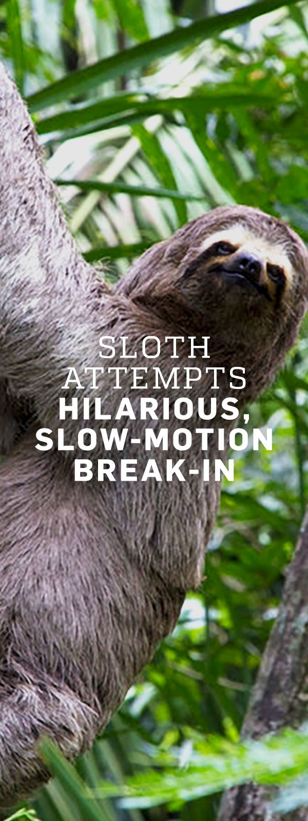 Sloth going to the bathroom - In What Was Likely The Slowest Invasion Attempt Ever A Sloth Attempted To Break Into