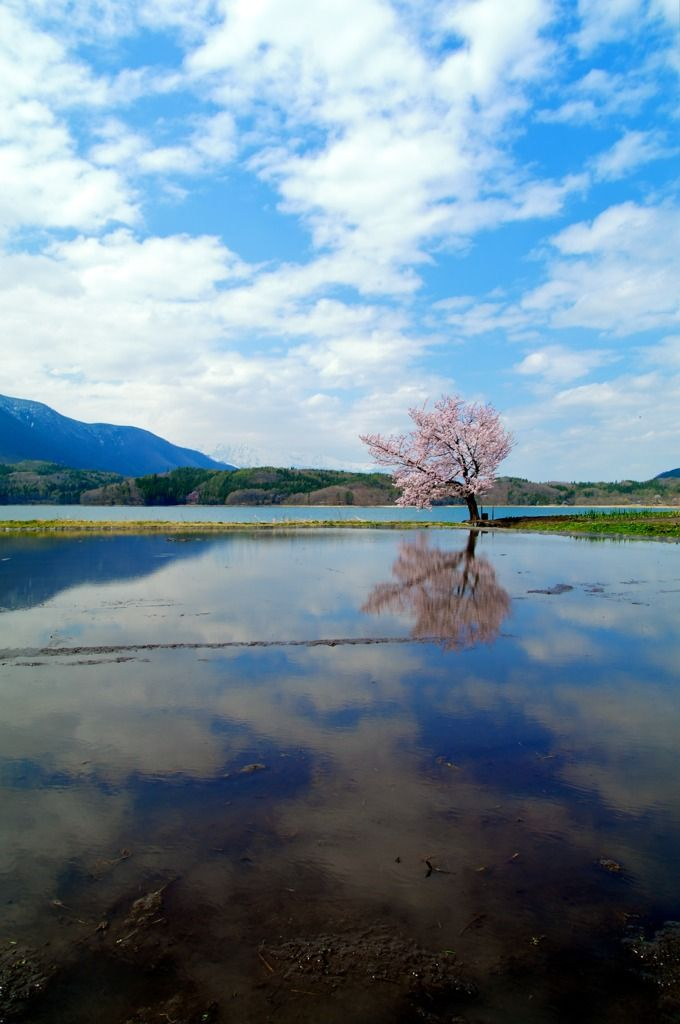 Cherry tree in Nagano, Japan 湖上の桜