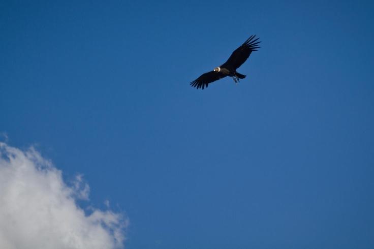 CONDOR, native bird of pray of Chile