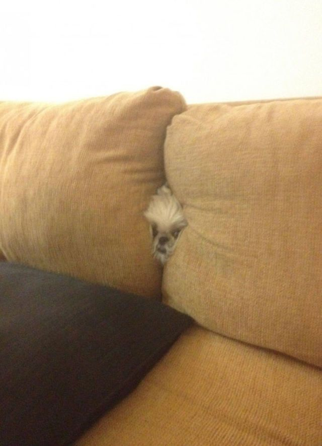 perro lanudo entre los cojines
