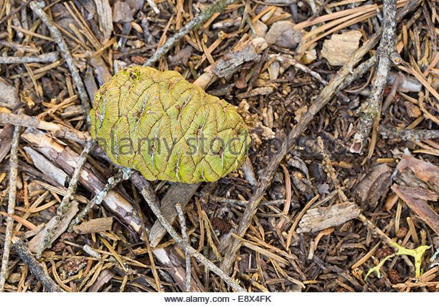 Image result for Sequoiadendron Giganteum cones