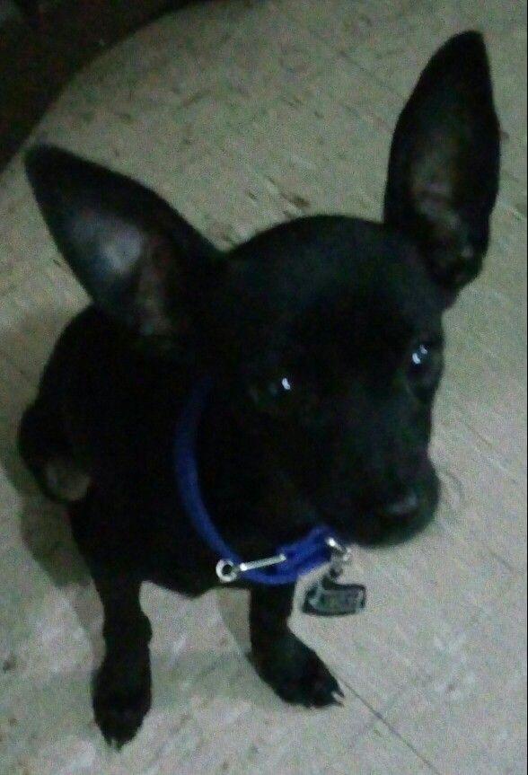 Chihuahua negro
