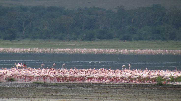 The Flamingos in lake baringo