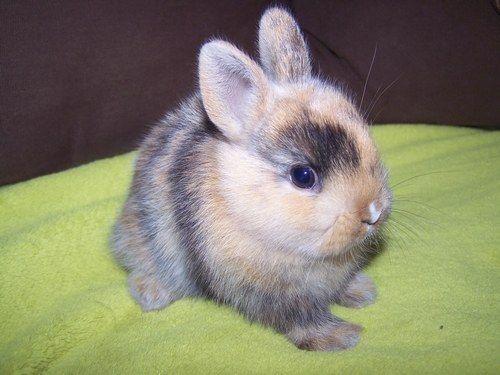 Fabulous Les 25 meilleures idées de la catégorie Bébé lapin nain sur  FA92