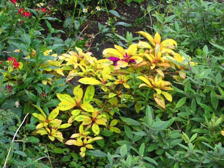 Garden Bush: Hamelia Patens 'Lime Sizzler'. This Firebush Is Not Your
