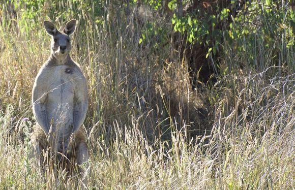 13 Cool Kangaroo Facts. - Random Facts