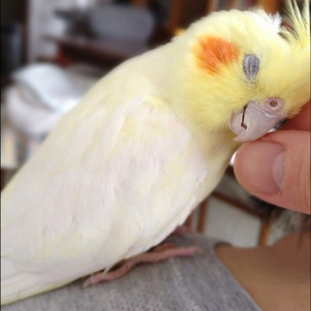cockatiel in heaven with head scratches!!