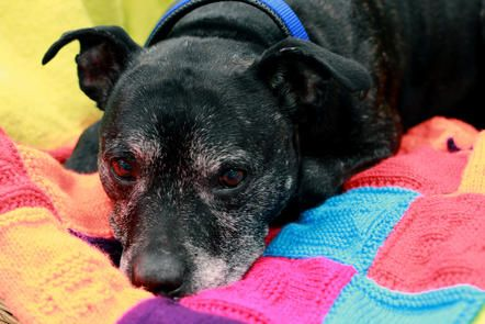 Battersea Dog Blanket Knitting Pattern : Appeal to knitters - blankets for Battersea s dogs, who stay with foster care...
