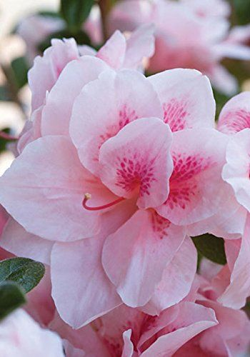 10 Bushes To Plant Under Trees.  The Encore series of azalea is evergreen and not as hardy, but blooms a second time in the fall. They are available in a wide range of colors.