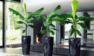 Groupon - Two, Four or Six Tropical Exotic Banana Trees from £14.99 With Free Delivery (Up to 72% Off). Groupon deal price: £14.99