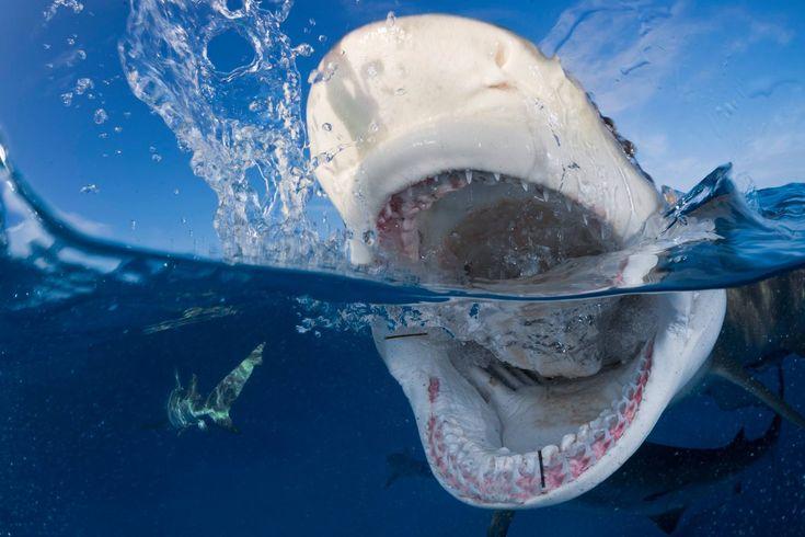 """Foto ganadora del Certamen Foto-Nikon en el apartado de """"Naturaleza"""".  Autor: Pedro Carrillo Montero  Datos captura: Tiburón limón (Negaprion brevirostris) atacando el cebo de un pescador en aguas de Bahamas, donde todavía es posible bucear con numerosas especies de escualos gracias a que están protegidos.  Modelo cámara: Nikon D4 Modelo objetivo: Nikkor 16mm Fisheye Modelo Flash: 2 x Inon Z240 Velocidad: 1/250 Apertura: f16 Distancia focal: 16mm ISO: 400 Localización: Bahamas"""
