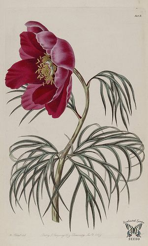 Paeonia tenuifolia. The Botanical Register vol. 14 (1828)