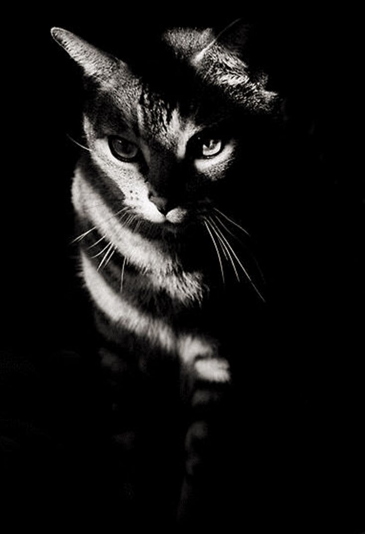 Wonderful black-and-white photo of cat shadow striping from the window.